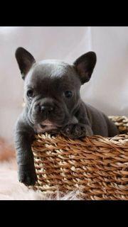 Typvolle Französische Bulldoggen Welpen dybscbjdx