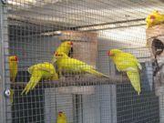 Ziegensittiche gold-gelb zu Verkaufen