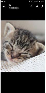 Burma Bkh Mix Kitten