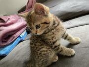 BKH Kitten sucht eine liebevolle