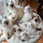 Super Süße Ragdoll Mai Kitten
