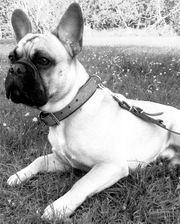 Französische Bulldogge Deckrüde Kein verkauft