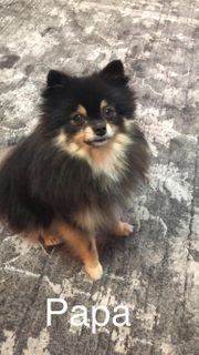 Chihuahua zwergspitz Welpen