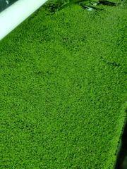 Entengrütze Wasserlinsen Aquarienpflanzen Wasserpflanzen