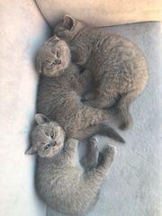 BKH Kitten 2 Buben