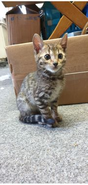 Bengal Kater sucht neues zuhause