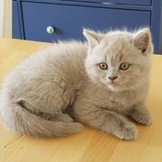 BKH Kitten Weiss-Beige