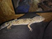 leopardgecko mädls suchen neues Zuhause