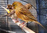 34 Kanarienvögel suchen neuen Wirkungskreis