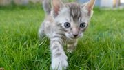 Zuckersüße Snow Bengal Kitten in