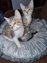 EKH Bengal Mix Kitten