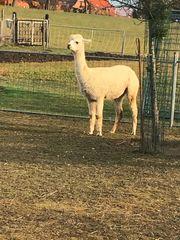 Alpaca-Stute zu verkaufen
