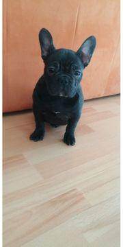 Wunderschöner reinrassiger Französische Bulldogge Welpe