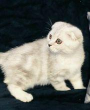 kitten bkh britische sh