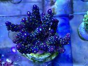 SPS Korallen Rhein-Main update 9