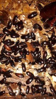 Asthmakäfer Lebendfutter für Frösche Geckos