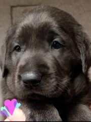 Labradormädel