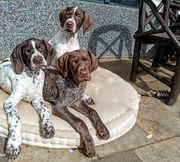 Jagdhund Vorstehhund Braque Francais Hundewelpen