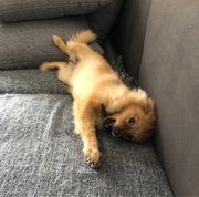 Weiblich Pomeranian
