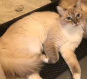 Heilige Birma Kater sucht Katzendame