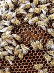 Bienen Bienenvölker Carnica Zander 10