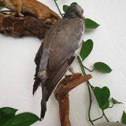 Tierpräparat Taube ausgestopft Taxidermy Präparat
