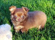 Chihuahua reinrassiger schoko tan Rüde