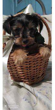 Mini Yorkshire Terrier Welpe ein