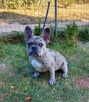 Französische Bulldogge Weibchen 5 1