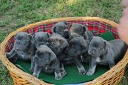 Wunderschöne französische Bulldogge Welpen 1
