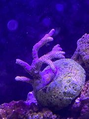 Meerwasser Korallen - Tausch oder Verkauf