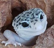 Super Galaxy 0 1 leopardgecko