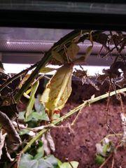 Wandelndes Blatt Phyllium ericoriai adult
