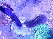 Hornkoralle Gorgonie lila Plexaura flexuosa