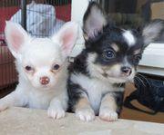 Quirlige Chihuahua Welpen Langhaar