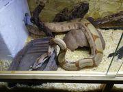 Boa Constrictor 0 1 Hypo