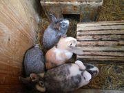 junge Hasen Kaninchen weiblich