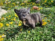 Wunderschöne Französische Bulldogge