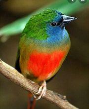 Suche Lauchgrüne Papageiamadinen