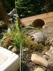 Griechische Landschildkröten THB-Gruppe NZ 2007