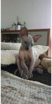 Süse Kanadische Sphinx Kitten
