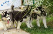 Temperamentvolle Husky Welpen
