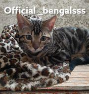 Reinrassigen Bengal Katerchen