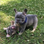 Französische Bulldoggewhatsapp 4915 21144 7907