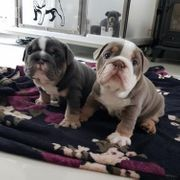Hochwertige Kc registrierte englische Bulldoggenwelpen