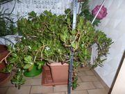 Schöner großer Geldbaum Pfennigbaum ca