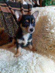 Chihuahua Kreuzung Rüde