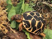Indische Sternschildkröten NZ 2019 2020