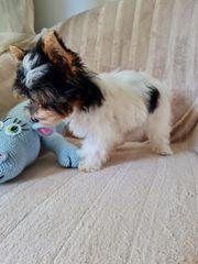 Biewer Yorkshire Terrier Welpen Rüde