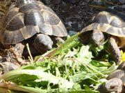 Maurische Landschildkröten testudo graeca Jahrgang